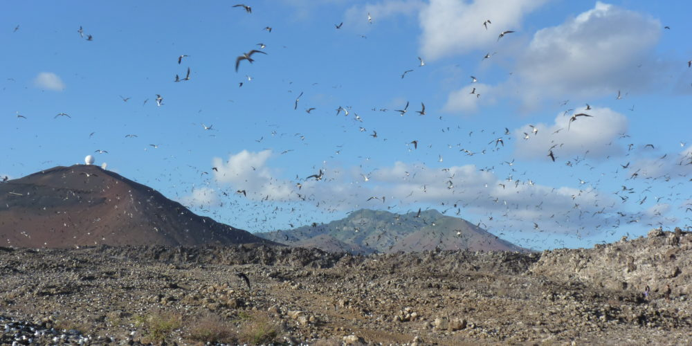 Vast seabird colonies on Ascension Island. Credit: Jonathan Hall